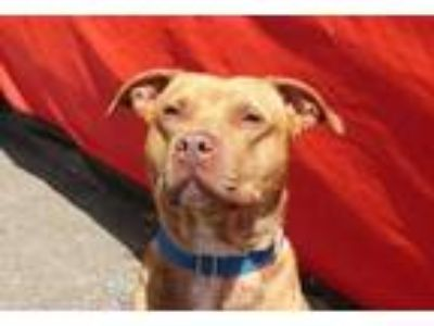 Adopt Hugo a Tan/Yellow/Fawn American Staffordshire Terrier / Pit Bull Terrier /