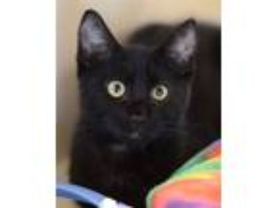 Adopt Freeway a Domestic Shorthair / Mixed (short coat) cat in Novato