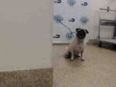 Adopt FRANK THE PUG a White - with Black Pug / Mixed dog in Doral, FL (25554133)