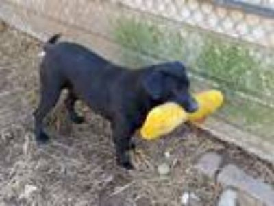 Adopt Tink a Black Labrador Retriever