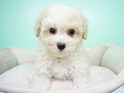 Maltipoo PUPPY FOR SALE ADN-104360 - Maltipoo Female Monica