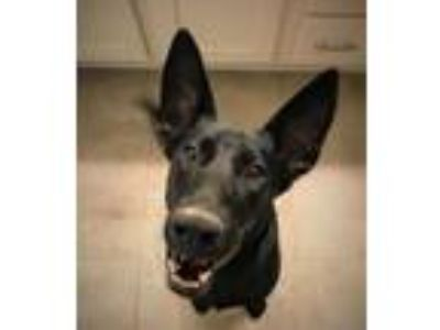 Adopt Erika Lonestar* a Black German Shepherd Dog / Labrador Retriever / Mixed
