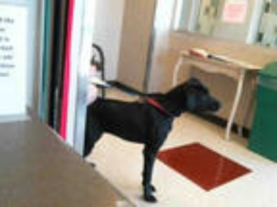 Adopt RYLEE a Black - with White Great Dane / Mixed dog in Plano, TX (25244304)