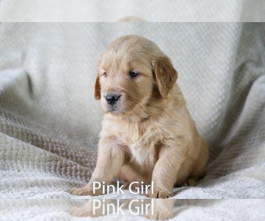 Golden Retriever PUPPY FOR SALE ADN-130120 - AKC Golden Retriever Puppies