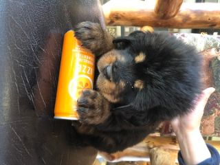Tibetan Mastiff PUPPY FOR SALE ADN-69567 - Catt TM Kennel