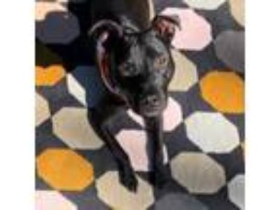 Adopt Penny T a Staffordshire Bull Terrier, Mixed Breed