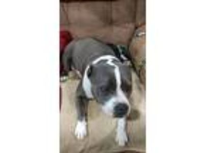 Adopt Bella Blue a American Staffordshire Terrier
