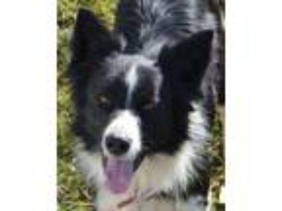 "Adopt Shawn""Sponsors Needed"" a Border Collie"