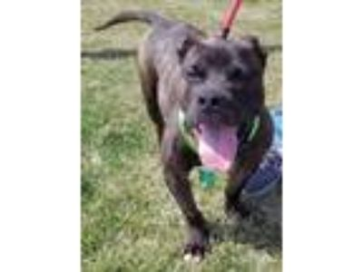 Adopt Digger Bailey a Pit Bull Terrier / Mixed dog in Rockaway, NJ (25473890)