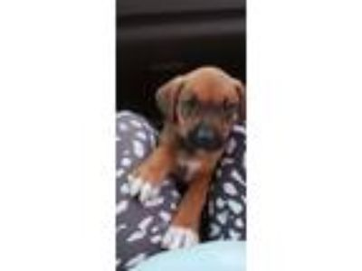 Adopt Betsy a Tan/Yellow/Fawn Boxer / Mixed Breed (Medium) / Mixed dog in