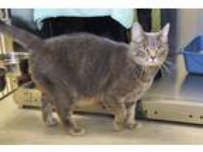 Adopt Sookie a Domestic Short Hair