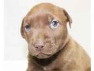 Adopt Hause a Brown/Chocolate - with White Boxer / Labrador Retriever / Mixed