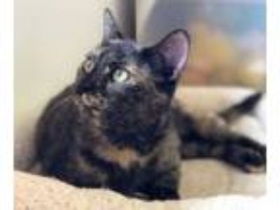 Adopt Golden Rain a Domestic Short Hair