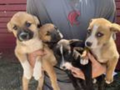 Adopt Beagle/Lab puppies M a Beagle, Labrador Retriever