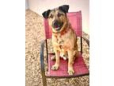 Adopt Coco Bear a Tan/Yellow/Fawn Mixed Breed (Large) / Mixed dog in Palm