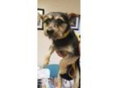 Adopt Clifford a Yorkshire Terrier