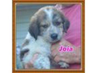 Adopt Joia a Tricolor (Tan/Brown & Black & White) Great Pyrenees / Shepherd