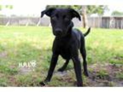 Adopt Zarthron a Labrador Retriever / Labrador Retriever / Mixed dog in