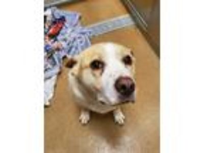Adopt BUBBA a Tan/Yellow/Fawn - with White Labrador Retriever / Mixed dog in