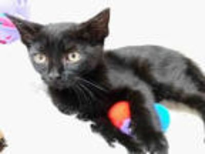 Adopt *PILOT a All Black Domestic Shorthair / Mixed (short coat) cat in Sugar