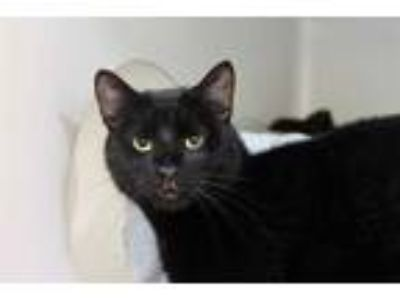 Adopt SUNDAY a All Black Domestic Shorthair / Mixed (short coat) cat in Boston