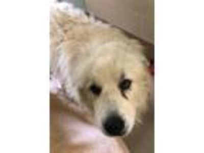 Adopt Bullet a Great Pyrenees