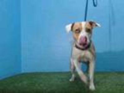 Adopt CLEO a Pit Bull Terrier, Catahoula Leopard Dog