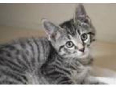 Adopt Kace is the cutest kitten ever! a Bengal, Tabby