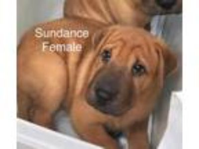 Adopt Sundance a Red/Golden/Orange/Chestnut Mixed Breed (Large) / Mixed dog in