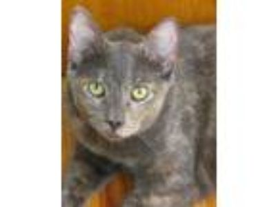 Adopt Cinder a Domestic Shorthair / Mixed (short coat) cat in Logan