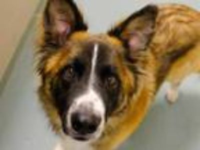 Adopt THOR a Tricolor (Tan/Brown & Black & White) Australian Shepherd / Husky /