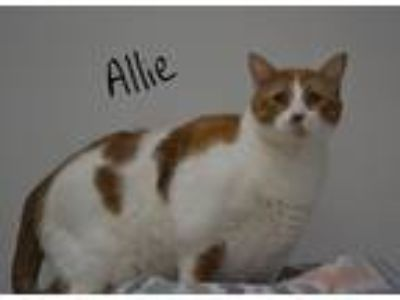 Adopt Allie a White (Mostly) Domestic Shorthair (short coat) cat in Lebanon