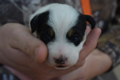Jack Russell Terrier PUPPY FOR SALE ADN-95601 - Purebred Jack Russell Terrier Puppies