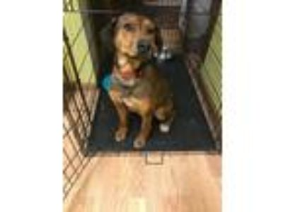 Adopt Amari a Tan/Yellow/Fawn - with White Labrador Retriever / Shepherd