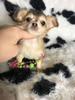 Chihuahua PUPPY FOR SALE ADN-110707 - Teacup chihuahua longhair Dollface