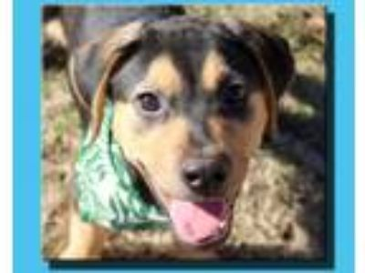 Adopt Koda Frannie a Black - with Tan, Yellow or Fawn Labrador Retriever / Hound