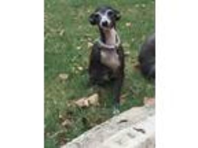 Adopt Katy TX60 a Brown/Chocolate - with White Italian Greyhound / Mixed dog in