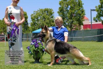 German Shepherd Dog- Puppies Available