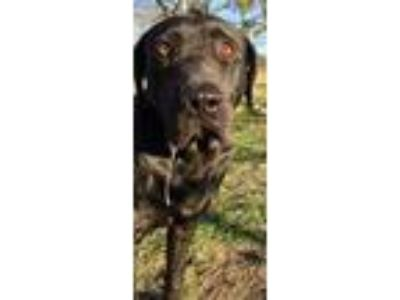 Adopt Shadow(HW+)In foster home a Black Labrador Retriever / Mixed dog in