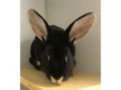 Adopt Bowie a American / Mixed rabbit in Pittsburgh, PA (25574079)