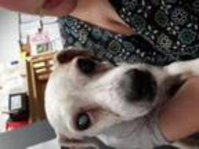 Adopt Kelly a Jack Russell Terrier