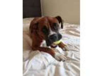 Adopt Medley a Red/Golden/Orange/Chestnut - with White Boxer / Mixed dog in