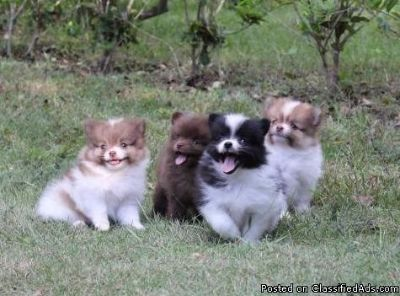 Pomeranian puppies male and female ready now