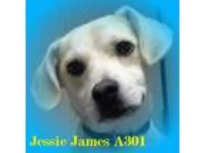 Adopt Jesse James a Beagle, Labrador Retriever