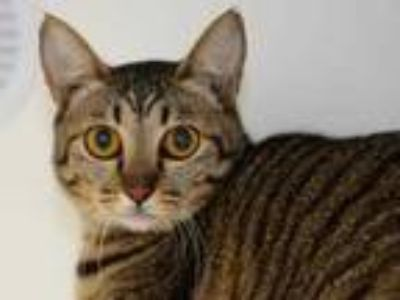 Adopt Princess Kitty a Brown or Chocolate Domestic Shorthair / Domestic