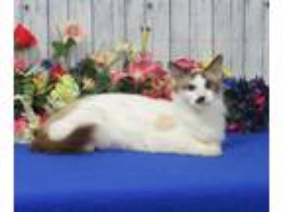Adopt Kahlua a Siamese / Mixed (short coat) cat in Roanoke, TX (25833767)