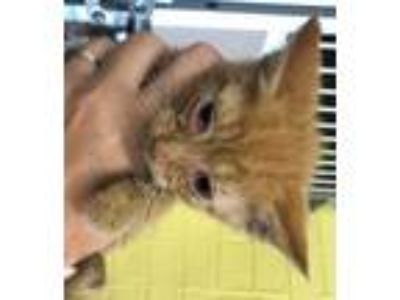 Adopt *MUGGY a Orange or Red Domestic Shorthair / Mixed (short coat) cat in