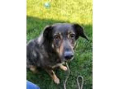 Adopt BUDDY a Shepherd (Unknown Type) / Collie / Mixed dog in Wintersville