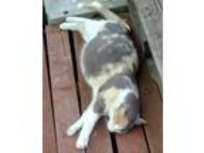Adopt Kittens 04/18/19 a Calico or Dilute Calico Calico cat in Eastman