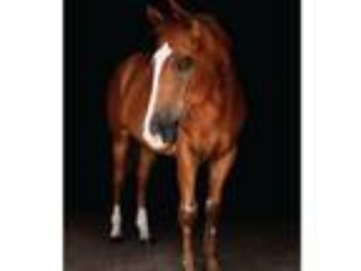 Adopt Truffles a Chestnut/Sorrel Quarterhorse / Appendix / Mixed horse in
